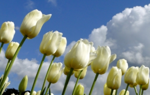 White Tulips HD Background