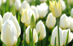 White Tulips HD Desktop