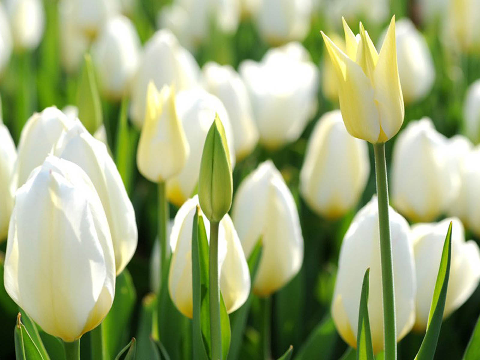 White tulips white tulips hd desktop dhlflorist Image collections