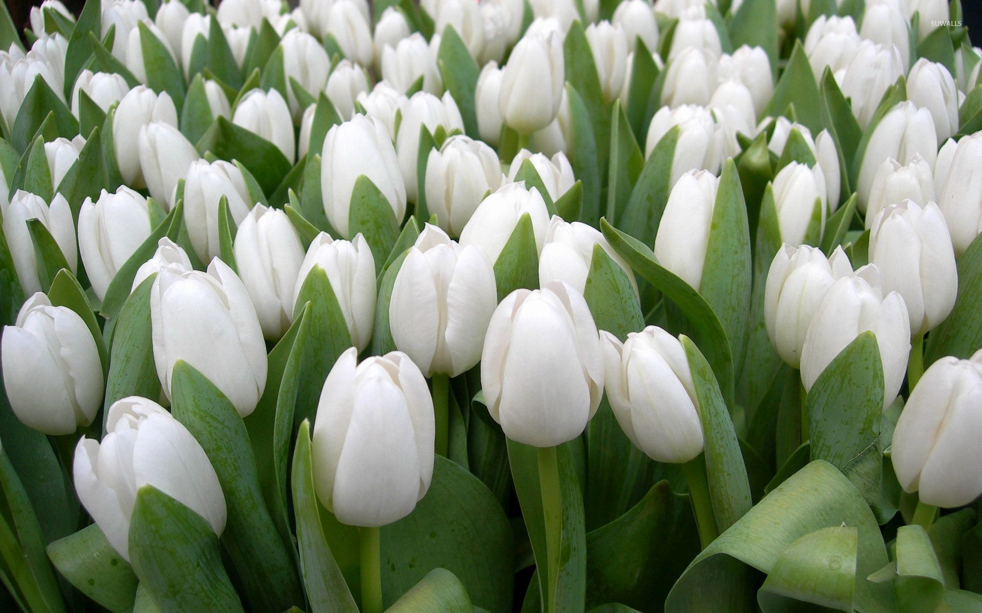 White Tulips HD Wallpapers White Tulip Flower