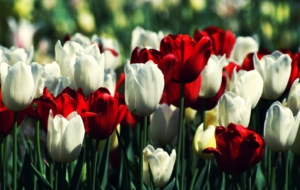 White Tulips High Definition Wallpapers