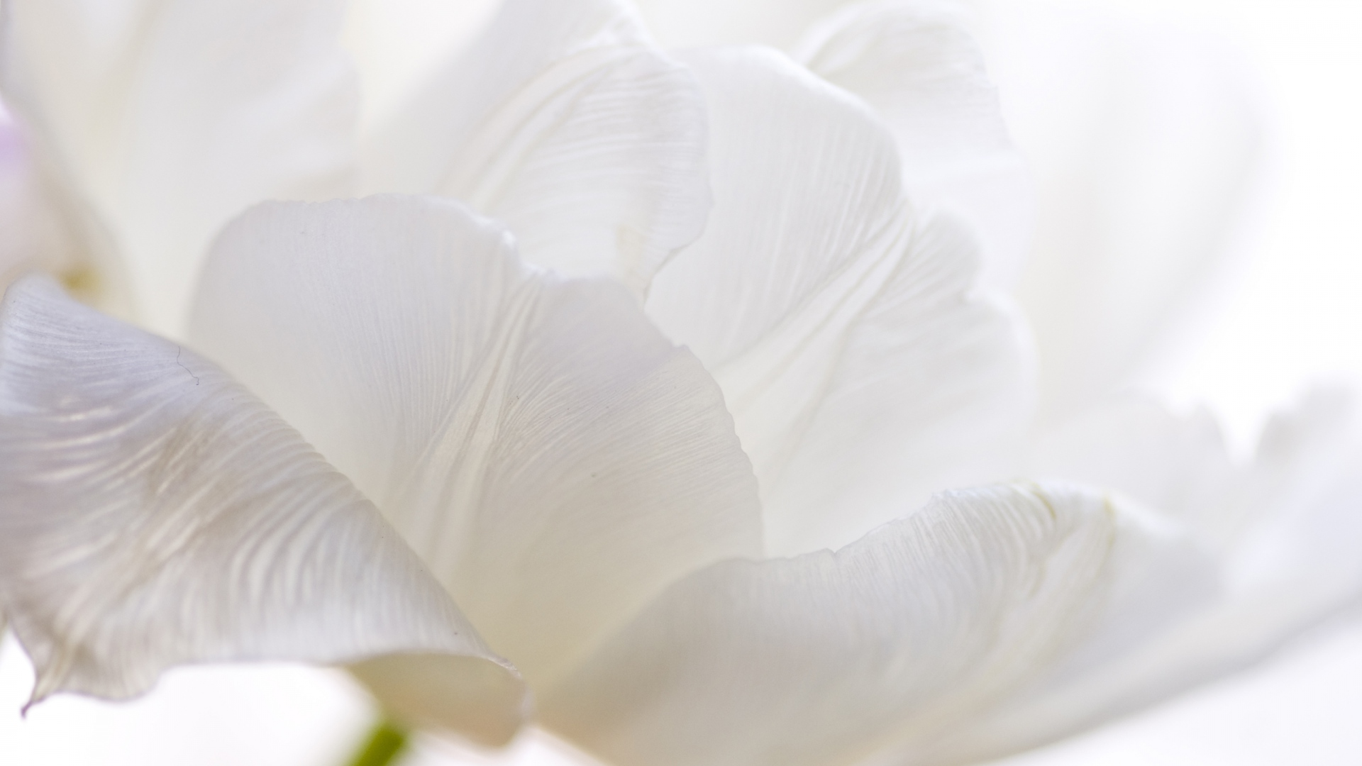 White Tulips High Quality Wallpapers