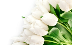 White Tulips Photos