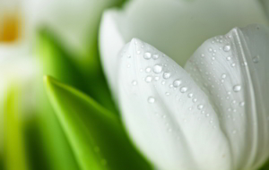 White Tulips Pictures