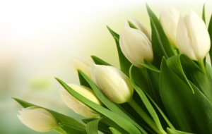 White Tulips Wallpaper