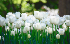 White Tulips Wallpapers HD