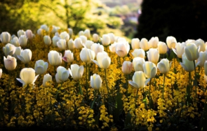 White Tulips Widescreen