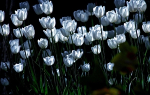 White Tulips For Desktop
