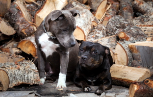 American Pit Bull Terrier Background
