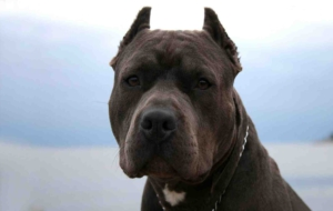American Pit Bull Terrier High Definition