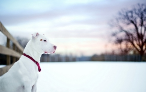 American Pit Bull Terrier Photos