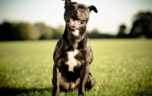 American Staffordshire Terrier Images