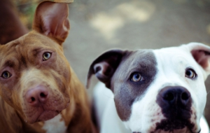 American Staffordshire Terrier Wallpapers HD