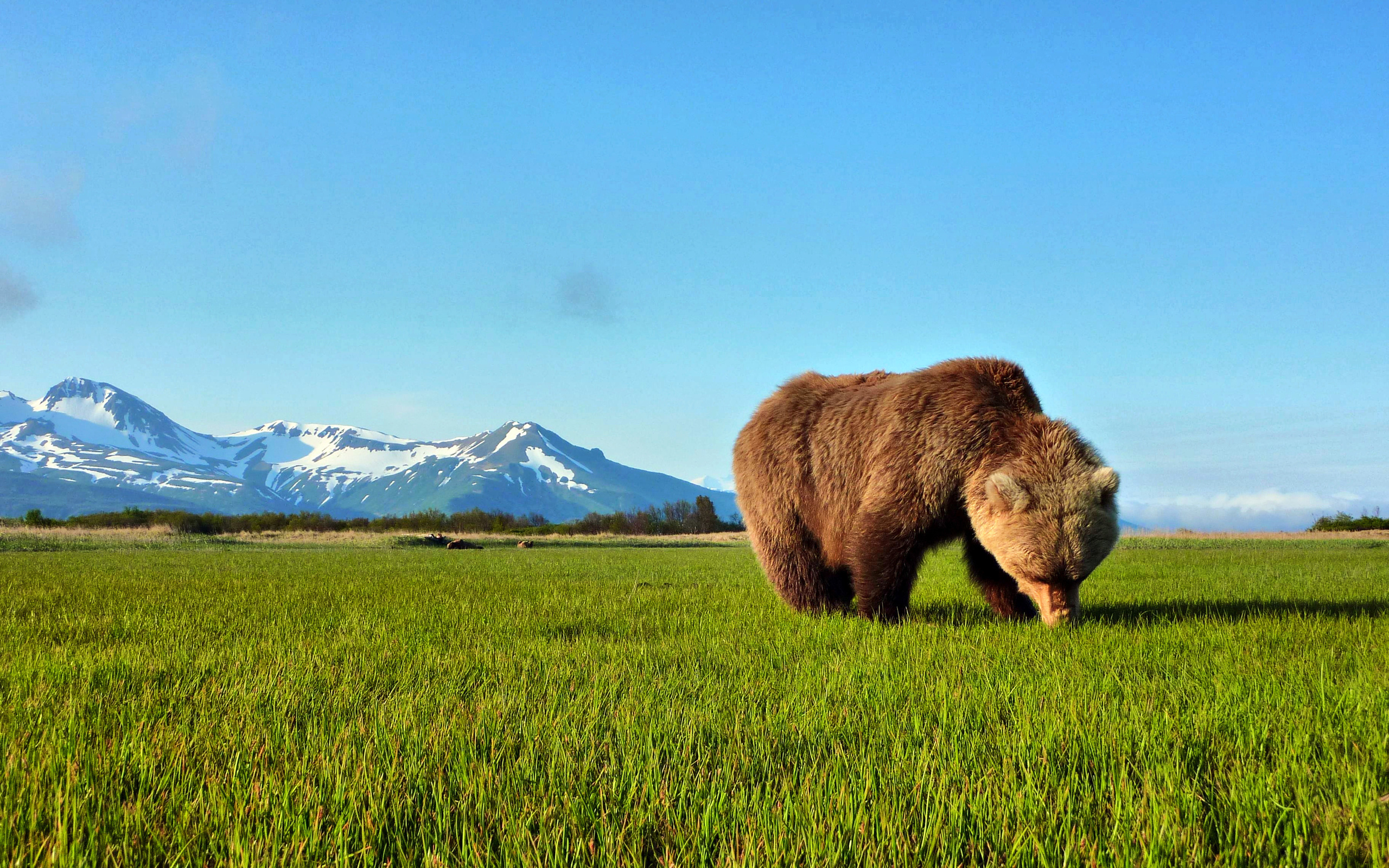 Bear hd wallpapers voltagebd Images