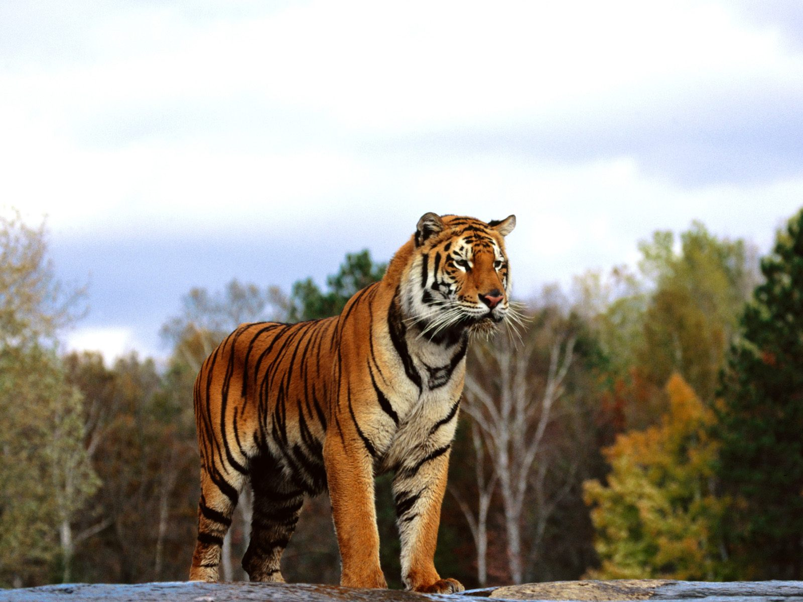 Bengal tiger hd wallpapers - Tiger hd wallpaper for pc ...