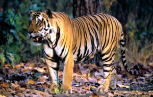 Bengal Tiger High Definition Wallpapers
