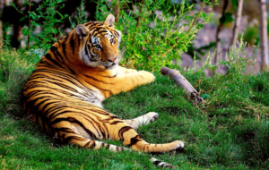 Bengal Tiger High Quality Wallpapers