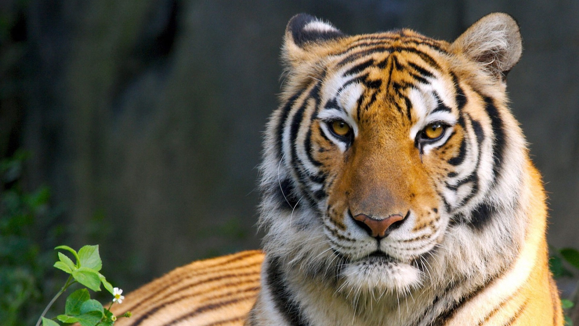 Hd Tiger Pictures Tiger Wallpapers: Bengal Tiger HD Wallpapers
