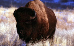 Bison Background