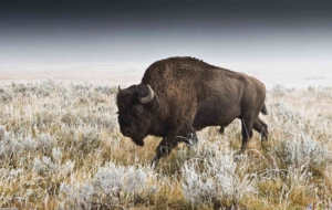 Bison Full HD
