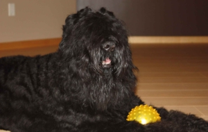 Black Russian Terrier 4K