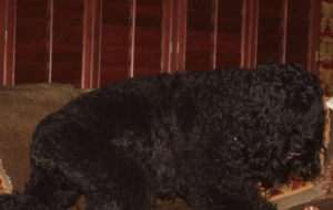 Black Russian Terrier Deskto