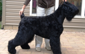 Black Russian Terrier High Quality Wallpapers
