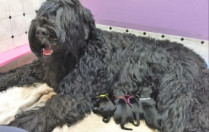 Black Russian Terrier For Deskto
