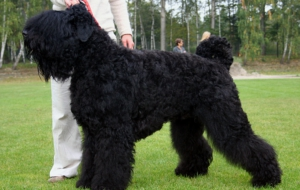 Black Russian Terrier Full HD