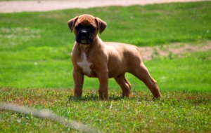 Boxer Dog HD Deskto