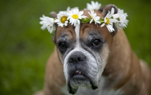 Boxer Dog HD Wallpaper
