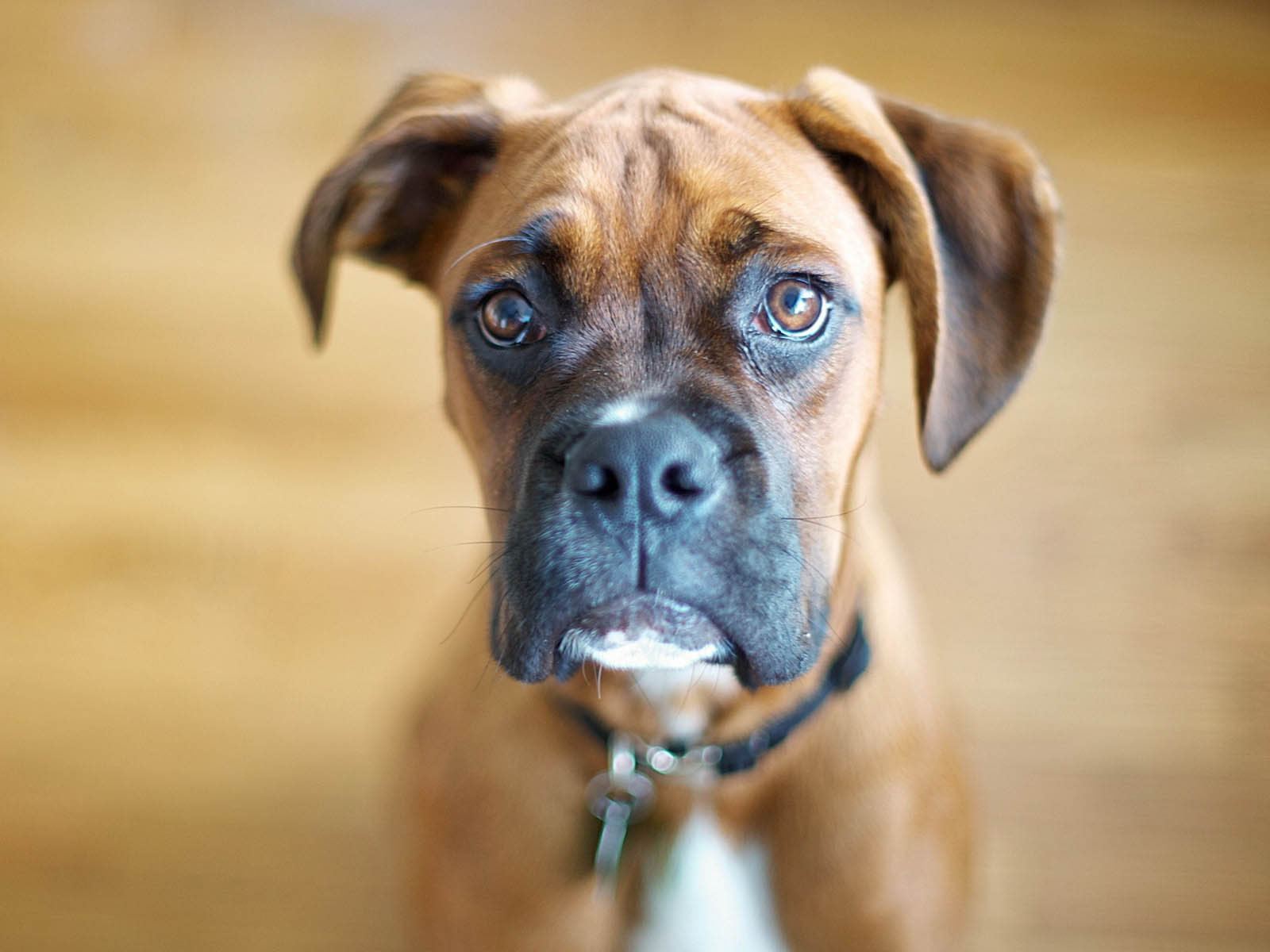 Boxer Dog HD Wallpapers