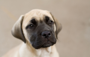 Bull Mastiff Background
