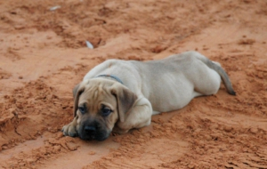 Bull Mastiff High Definition Wallpapers