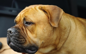 Bull Mastiff High Quality Wallpapers