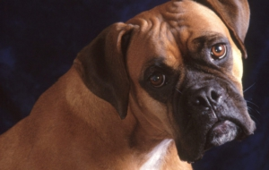 Bull Mastiff Wallpaper