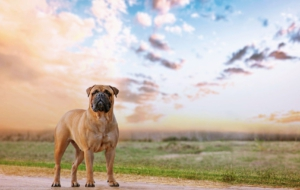 Bull Mastiff Wallpapers