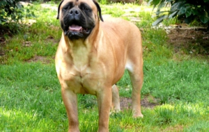 Bull Mastiff Widescreen