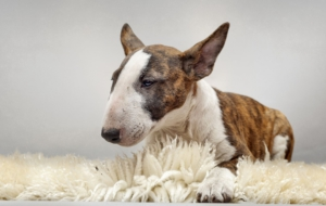 Bull Terrier HD Wallpaper