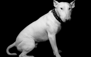 Bull Terrier High Definition