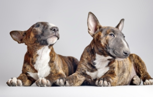 Bull Terrier High Definition Wallpapers