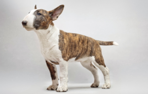 Bull Terrier Pictures