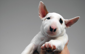 Bull Terrier Widescreen
