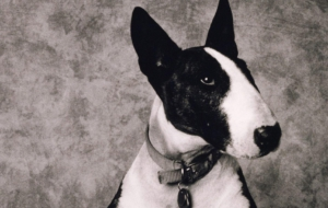 Bull Terrier Full HD