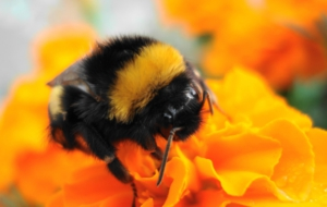 Bumble Bee Photos