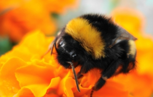 Bumble Bee Wallpapers HD