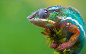 Chameleon HD Wallpaper