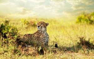 Cheetah HD