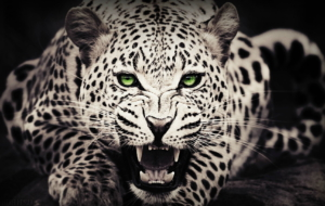 Cheetah HD Background
