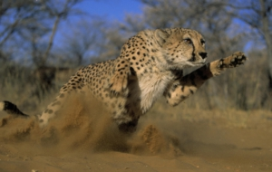Cheetah High Definition